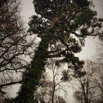 Monterey Pine, Stradey Castle, Llanelli.